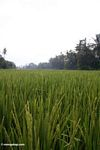 Grains of rice growing in a paddy in Bali (Ubud, Bali)