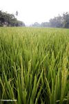 Rice growing in a field near Ubud (Ubud, Bali)