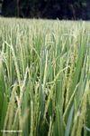 Rice growing in a field at Petulu village (Ubud, Bali)