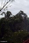 Petulu herons nesting in trees (Ubud, Bali)