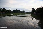 Setting sun over the rice fields of Ubud (Ubud, Bali)