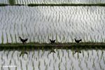 Chickens crossing a rice paddy (Ubud, Bali)