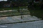 People in a rice field (Ubud, Bali)