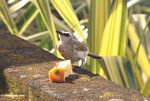 White-gray bird feeding on an apple core (Jimbaran, Bali