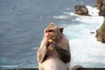 Pregnant long-tailed macaque at Uluwatu, with breaking surf in the background (Jimbaran, Bali