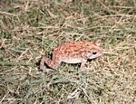 Red, yellow, white, and brown toad in Bali (Jimbaran, Bali