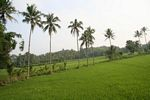 Rice fields and palm trees (Java)