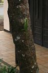 Green agama dragon lizard on tree trunk (Java)