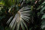 Palm leaf (Java)
