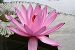 Pink water lotus (Java)