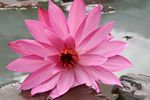 Pink lotus flower (Java)