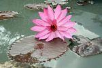 Pink lotus (Java)