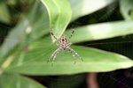 Orb spider (Java)