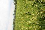 Rice field (close up) (Java)