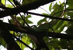 Green lizard (Bronchocela cristatella?) in a tree in Java (Indonesia) (Java)