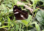 Black butterfly with white markings in Java (Java)