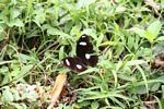 Black butterfly with white spots in Java (Java)