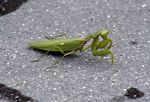 Green preying mantis (Java)