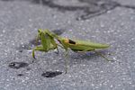 Green praying mantis rubbing its eyes (Java)