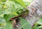 Green and brown grasshopper (Java)