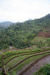 Terraces of rice and bananas (Java)