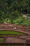 Terraced rice and bananas (Java)