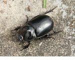 Large black beetle in Kalimantan (Kalimantan, Borneo - Indonesian Borneo)