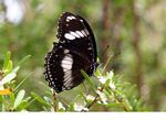 Black and white butterfly on flower (Kalimantan, Borneo - Indonesian Borneo)