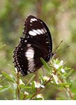 Black and white butterfly feeding on flower nectar (Kalimantan, Borneo - Indonesian Borneo)