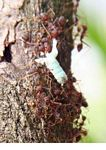 Ants hauling body parts of a dead insect (Kalimantan, Borneo - Indonesian Borneo)