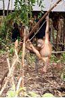 Ex-pet orangutan learning forest survival skills at the Orangutan Care Centre and Quarantine in Pangkalan (Kalimantan, Borneo - Indonesian Borneo)