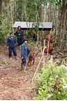 Ex-captive orang-utans learning forest skills at the rehabilitation center (Kalimantan, Borneo - Indonesian Borneo)