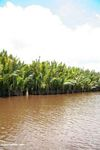Nipa palms along the Seikonyer River (Kalimantan, Borneo - Indonesian Borneo)