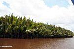 Nipa palms along the Seikonyer River (Kalimantan, Borneo - Indonesian Borneo) -- kali8919