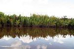 Nipa palms along the Sekonyer River (Kalimantan, Borneo - Indonesian Borneo)