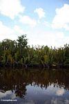 Nipa palms (Kalimantan, Borneo - Indonesian Borneo)