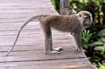 Long-tailed Macaque on boardwalk at Rimba Lodge (Kalimantan, Borneo - Indonesian Borneo)
