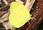 Yellow butterfly in Borneo (Kalimantan, Borneo - Indonesian Borneo)