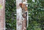 Excited female proboscis monkey (Kalimantan, Borneo - Indonesian Borneo)