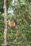 Proboscis Monkey (Nasalis larvatus) in a rainforest tree (Kalimantan, Borneo - Indonesian Borneo)