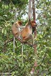 Proboscis Monkey (Nasalis larvatus) grooming in a tree (Kalimantan, Borneo - Indonesian Borneo)