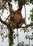 Large-nosed Male Proboscis Monkey with female (Kalimantan, Borneo - Indonesian Borneo)