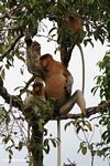 Large-nosed Male Proboscis Monkey eating fruit in the rain forest (Kalimantan, Borneo - Indonesian Borneo)