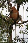 Large-nosed Male Proboscis Monkey eating fruit in the rainforest (Kalimantan, Borneo - Indonesian Borneo)