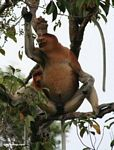 Large-nosed Male Proboscis Monkey smelling fruit (Kalimantan, Borneo - Indonesian Borneo)