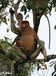 Large-nosed Male Proboscis Monkey (Nasalis larvatus) in tree (Kalimantan, Borneo - Indonesian Borneo)