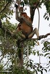 Male Proboscis Monkey (Nasalis larvatus) in tree (Kalimantan, Borneo - Indonesian Borneo)