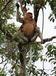 Domiant male Proboscis Monkey in tree (Kalimantan, Borneo - Indonesian Borneo)