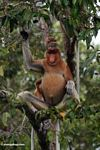 Domiant male Proboscis Monkey eating fruit (Kalimantan, Borneo - Indonesian Borneo)
