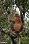Domiant male Proboscis Monkey with females in tree eating fruit (Kalimantan, Borneo - Indonesian Borneo)
